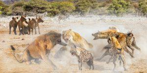 Лев загнан гиенами в угол призывает подкрепление