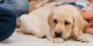Лабрадор: дрессировка щенка, правила содержания, уход, рекомендации ветеринаров и кинологов