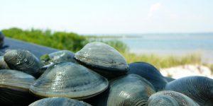 Панцирные моллюски: описание, строение и фото
