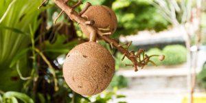 Бразильский орех: польза для женщин и вред, калорийность и состав