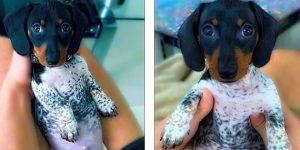 Такса или далматин? Милый щенок имеет уникальный окрас (фото)