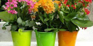 Как ухаживать за каланхоэ в домашних условиях: советы и рекомендации